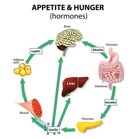 Hormones Control Appetite