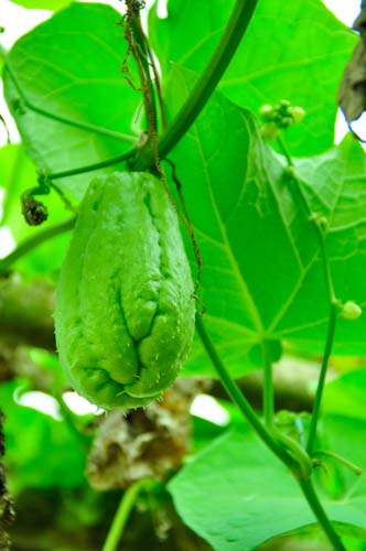 Chayote Squash Growing on the Vine