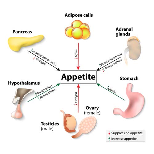 Hormone imbalances can lead to yoyo dieting graph showing how hormones impact appetite ccuart Gallery