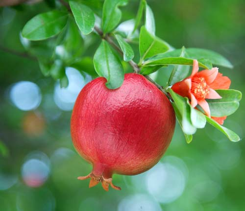 Pomegranate Tree with Ripe Fruit